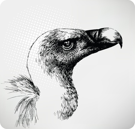 carrion: Griffon Vulture hand drawn  Illustration
