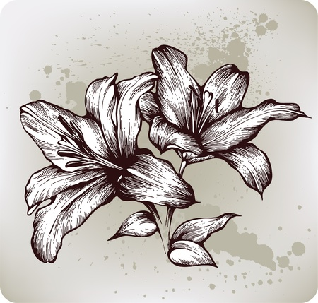Lilies bloom, hand drawing. Vector illustration. Vector