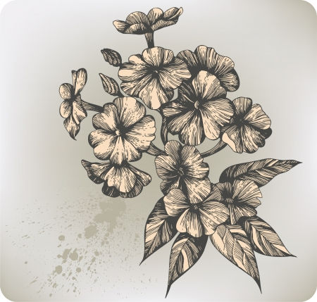 Flower blooming phlox, hand-drawing. Vector illustration. Illustration
