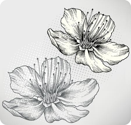 dessin fleur: Abricots fleurs, la main-dessin d'illustration