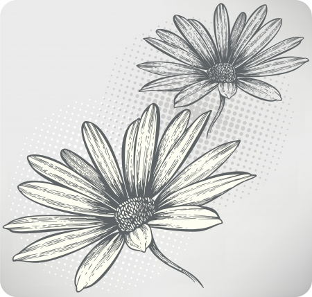 kamille: Bl�hende Blumen Osteospermum, Hand-Zeichnung. Vektor-Illustration.