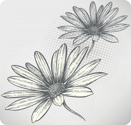 Blooming kwiaty Osteospermum ręcznie rysunek. Ilustracji wektorowych. Zdjęcie Seryjne - 13601575