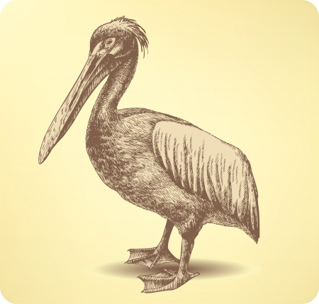 waterfowl: Pelican Bird, hand drawing