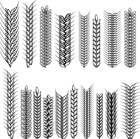 spikes: Ears of wheat and rye. Decorative сollection. Vector illustration. Illustration