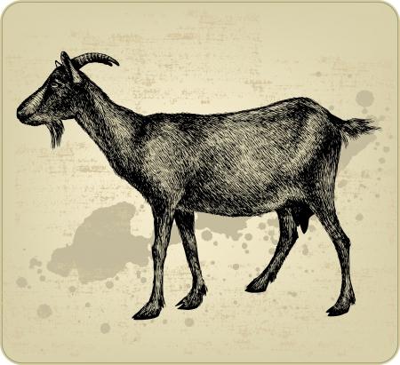 kaas: Geit met horens, hand-tekening. Vector illustratie. Stock Illustratie