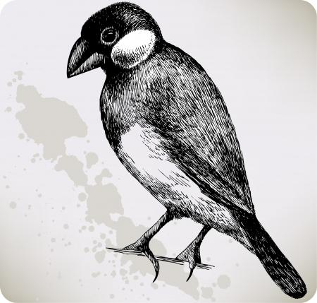 Bird Padda oryzivora Stock Vector - 16168044