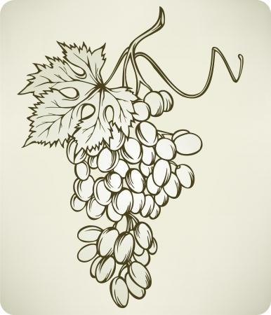 Grapes, hand-drawing,  illustration. Stock Vector - 17477092