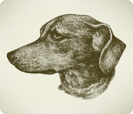 Dachshund dog breed, hand drawing.  illustration.
