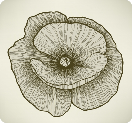 Poppy flower, hand drawing.  illustration. Vector