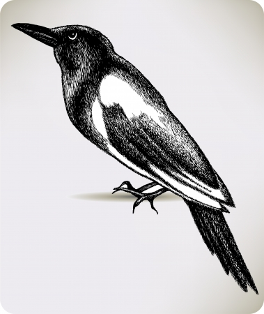 magpie: Bird magpie, hand-drawing. Vector illustration.