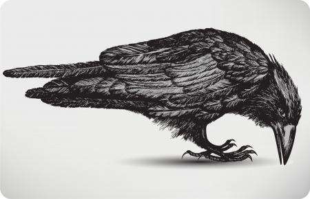 raven: Black raven bird, hand-drawing. Vector illustration.