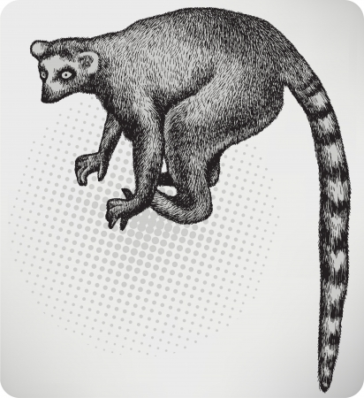 lemur: Animal lemur, hand-drawing. Vector illustration.