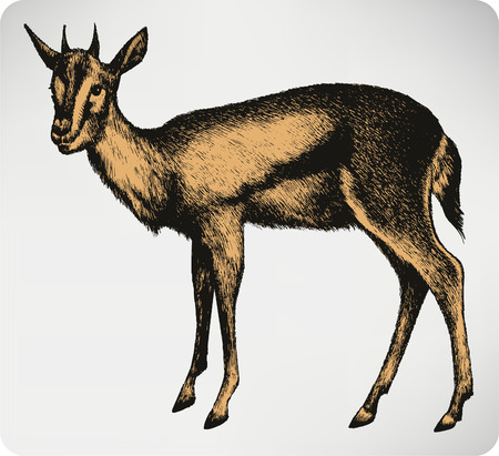 gazelle: Gazelle animal, hand-drawing. Vector illustration.
