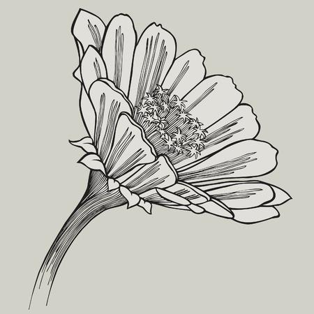 Zinnia flower, hand-drawing. Vector illustration.
