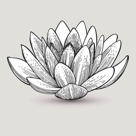 lirio acuatico: Flor del lirio de agua, dibujo a mano. Ilustración del vector.