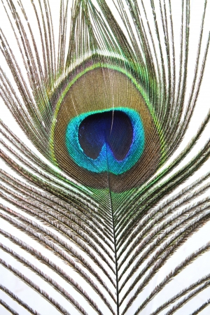 peacock feather photo