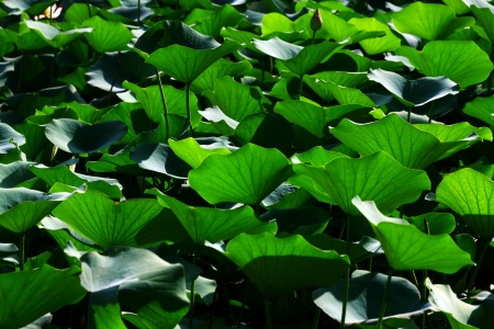 greenness: Lotus leaves