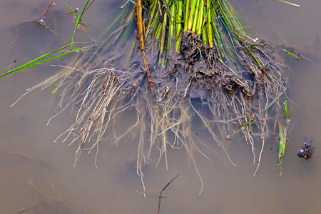Rice plant in Indian field