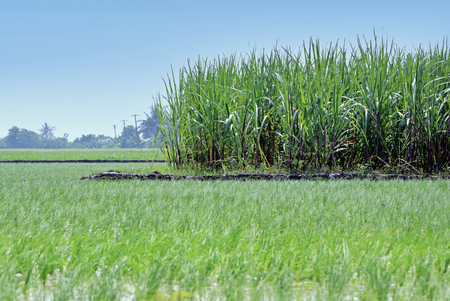 Rice plant in Indian field with Sugarcane