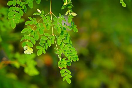 Living herbal Drumstick tree