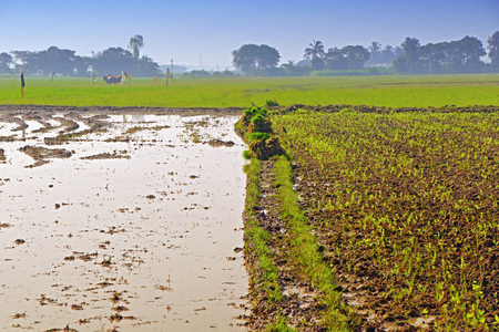 Rice plants in Indian field for Plantation Banco de Imagens