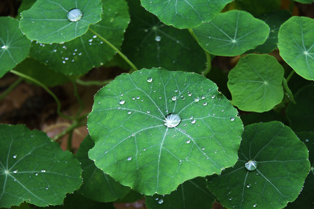 water cress: Autumn Rain waterdrops