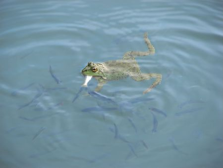 amphibia: A Frog eating fish in a lake Stock Photo