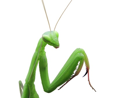 foreleg: Green praying mantis isolated on white background Stock Photo