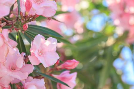Macro image of Oleander flower during daytime