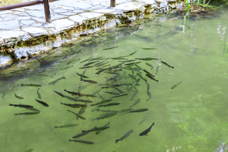 School of trout fishes in the river