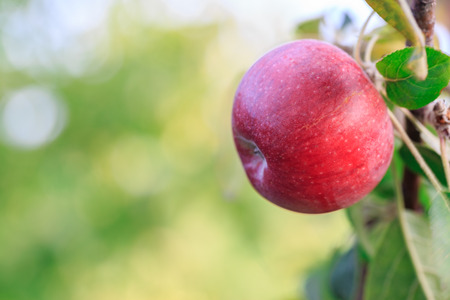 Red apple on the branch of the apple tree