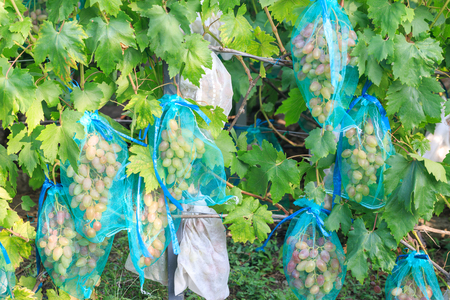 Protected Grapes with covers hanging on branches Imagens