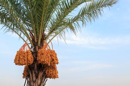 Unripe dates on palm tree
