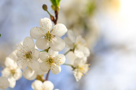 Blossoming tree branch with blue sky background macro Archivio Fotografico