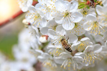 Bee on a flower on branch of apple tree