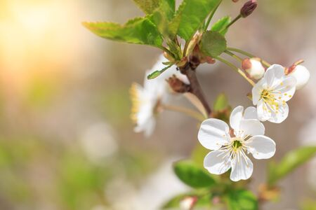 Branch of blossoming tree macro with sunlight Archivio Fotografico