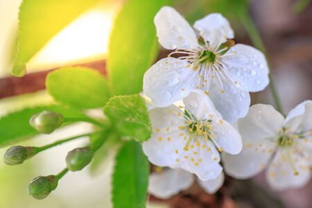Water drops on flowers and buds of a branch of an apple tree