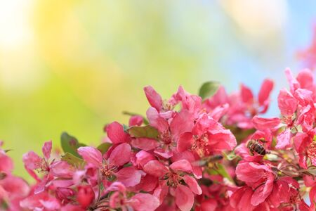 Pink flowers on a branch of a tree with green and blue background Archivio Fotografico