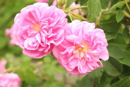 """""""Damast Rose"""" Blume (oder Rose von Kastilien) in Innsbruck, Österreich. Sein lateinischer Name ist Rosa Damascena, abgeleitet von Rosa Gallica und Rosa Moschata. Standard-Bild - 68555009"""