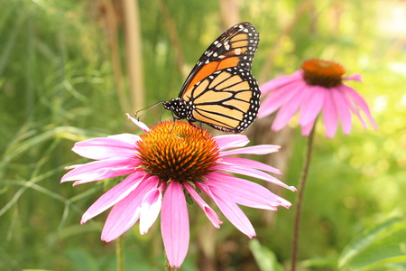 A Monarch butterfly (Danaus Plexippus) sipping nectar through its proboscis from a Blacksamson Echinacea (Echinacea Angustifolia) (or Narrow Leaved Purple Coneflower) in Innsbruck, Austria.