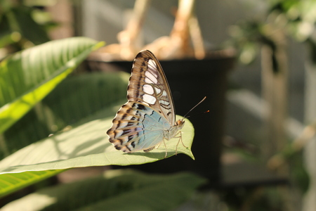 Blue Clipper Butterfly in Innsbruck, Austria. Its scientific name is Parthenos Sylvia, native to Southeast Asia.