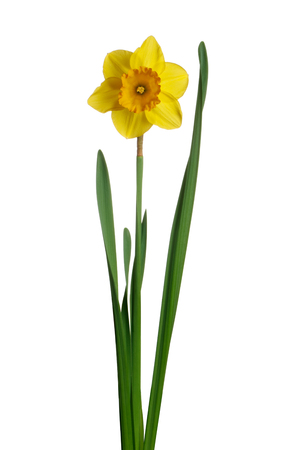 Spring yellow daffodils isolated on a white background Reklamní fotografie