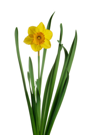 Spring yellow daffodils isolated on a white background Stock Photo