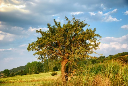 tuzla: Lone tree by the coast of the Erikli Tuzla Lake, Turkey