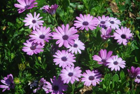 bush of purple flowers in the garden Banco de Imagens
