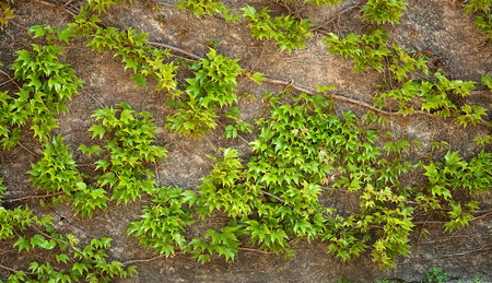 ivy wall: Background old wall and ivy leaves Stock Photo