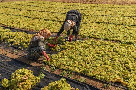 Grape picking and laying process for making raisins