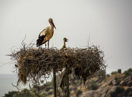 mother stork and cub standing in the nest