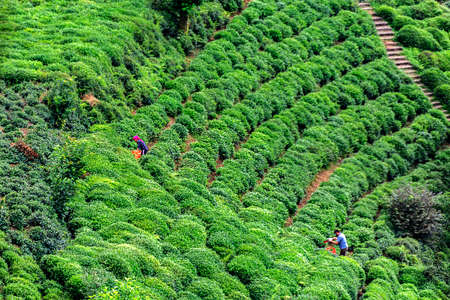 Micronclimate climate features tea easily grown in Rize producers also loved the tea. The emerald of Rize has enriched tea with exquisite shades of green. It was also important that this richness added by Rize to tea was an economic value. spread from day to day, gardens, tea gardens covering the slopes of Rize converting one hand the lifestyle of people has become an important actor on the one hand, consumption preferences of the generation that grew up in Turkey. Stock fotó