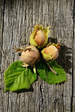 Three hazelnuts on wooden background freshly picked from a tree photo